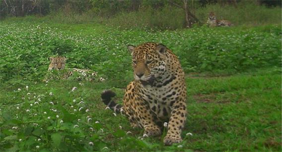 Jaguars on Hato la Aurora