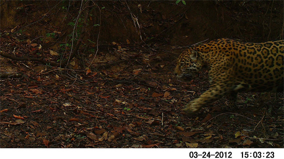 Jaguar on Hato la Aurora