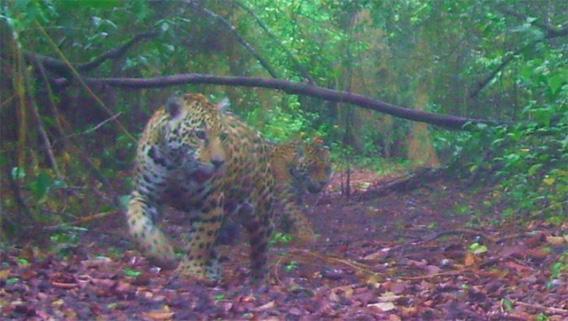 Jaguar cubs on Hato la Aurora