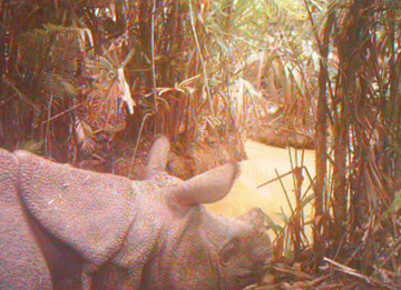 The rarest rhino captured on video.