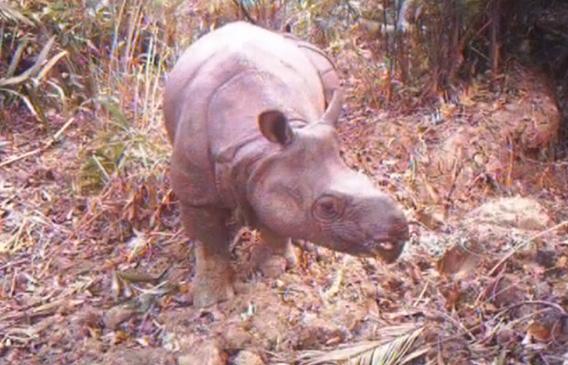 L'un des derniers rhinocéros de Java