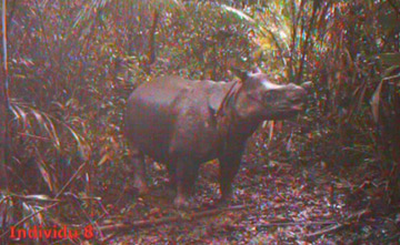The Javan rhino captured on video.