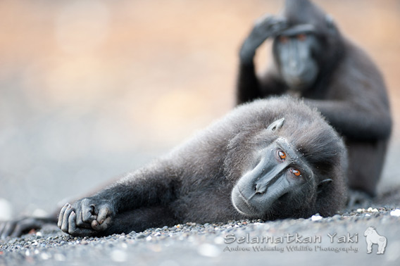Sulawesi crested black macaques - a striking and iconic species