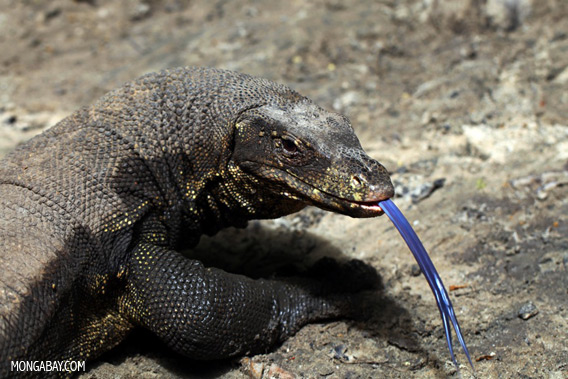 Water monitor photographed in Sabah, on the island of Borneo.