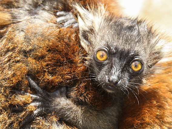 Baby black lemur.