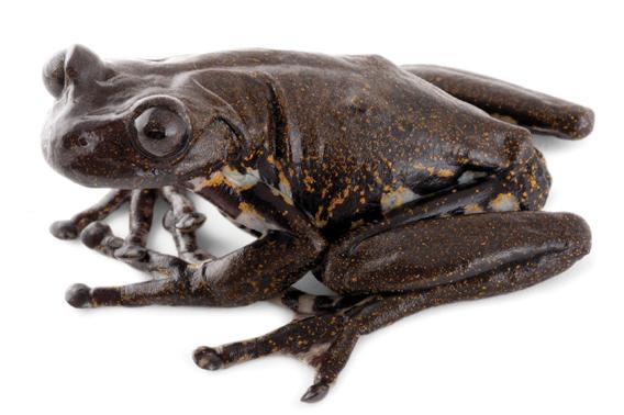 Hyloscirtus cryptico frog
