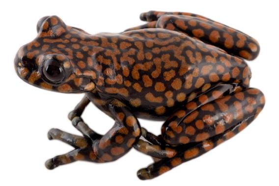 Prince Charles' frog