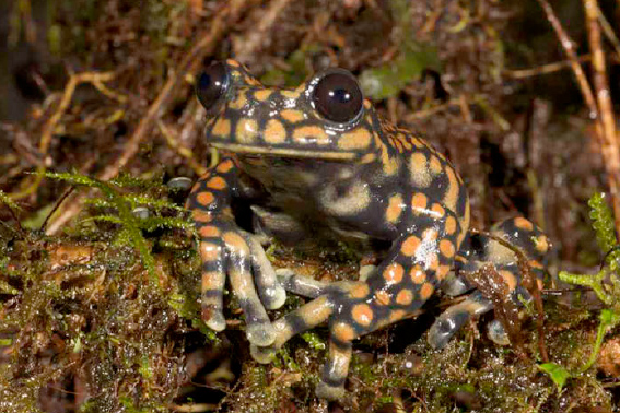 The Prince of Wales frog, Hyloscirtus princecharlesi, in the wild