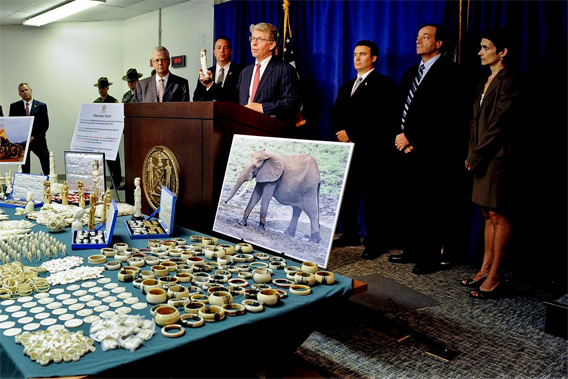 Pictured: Ivory seized by Manhattan District Attorney's Office, New York State Department of Environmental Conservation, and the United States Fish and Wildlife Service