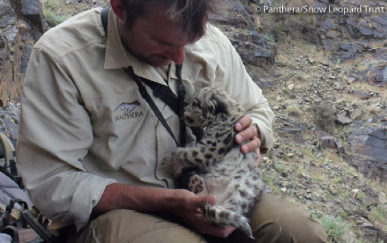 Field Scientist Mattia Colombo (Italy) carefully prepares to place a cub back into its den.