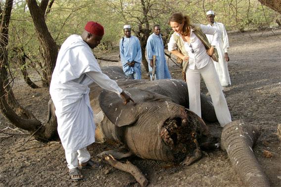 Elephant carcass .