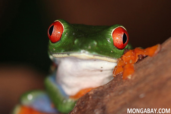 RED-EYED TREE FROG. Photo by Rhett A. Butler.