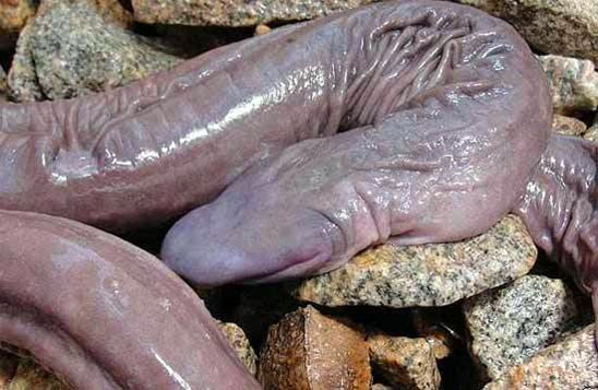The only living penis snakes (Atretochoana eiselti) were discovered while draining the Madeira River. No one knows how many may survive. Photo by: Rhett A. Butler.