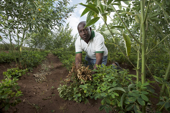 Groundnut breeder Albert Chamango grows tall perennial pigeon peas alongside his low-growing legumes to increase crop yields