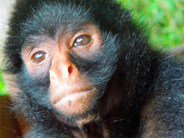 Red faced spider monkey facts