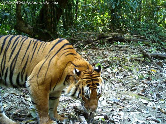 Male Bengal tiger caught on camera trap in Namdapha Tiger Reserve. Photo © Panthera, NTCA, APFD, NNPA, and Aaranyak.