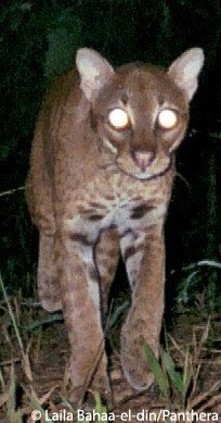African golden cat in Precious Woods Gabon logging concession. Photo by: Laila Bahaa-el-din/Panthera.