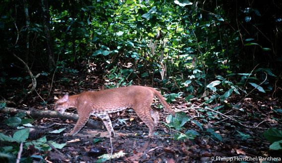 L'Un des premières photos d'un Chat doré africain, vivant et sauvage - Gabon, Avril 2002. Photo de: Philipp Henschel/Panthera.