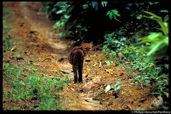 One of the first handheld photos of a living, wild African golden cat. Gabon, 2003. Photo by: Philipp Henschel/Panthera.