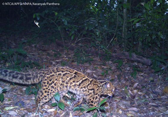 Marbled cat in Namdapha. The marbled cat is listed as Vulnerable. Photo © Panthera, NTCA, APFD, NNPA, and Aaranyak.