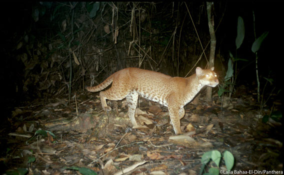 Full body photo of an African golden cat – Gabon. Photo by: Laila Bahaa-el-din/Panthera.
