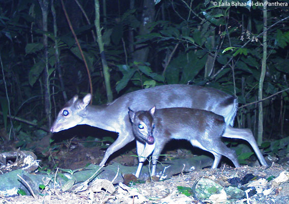 The blue duiker (seen here with a calf). Photo courtesy of Laila Bahaa-el-din/Panthera.