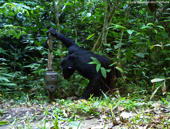 A chimpanzee checks out a camera trap. Photo by: Laila Bahaa-el-din/Panthera.