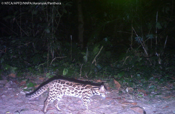 Leopard cat in Namdapha. The leopard cat is listed as Least Concern. Photo © Panthera, NTCA, APFD, NNPA, and Aaranyak.