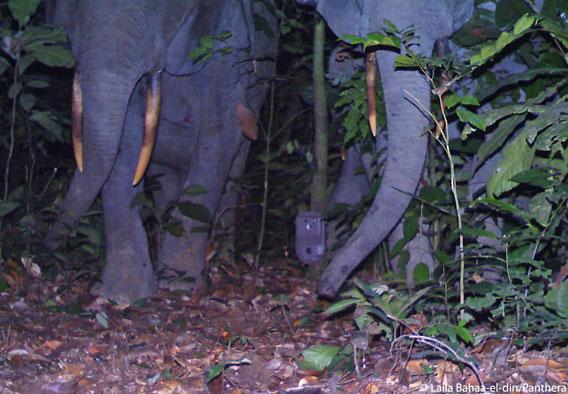 Una cámara trampa se asienta precariamente entre dos elefantes montunos. Foto cortesía de Laila Bahaa-el-din/Panthera.