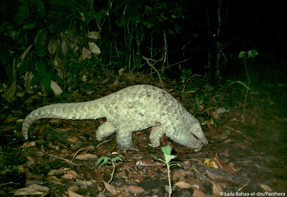 A giant pangolin caught on camera trap. Photo by: Laila Bahaa-el-din/Panthera.