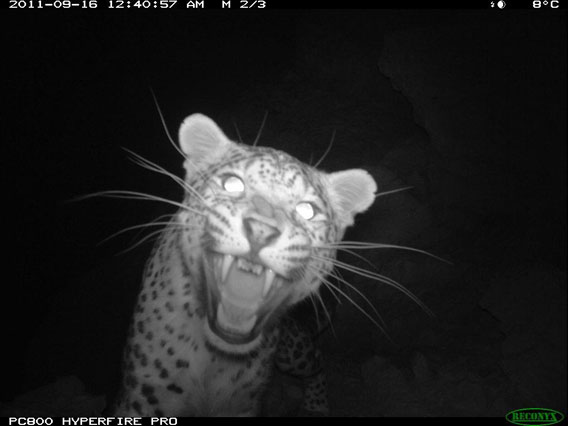 Persian leopard captured on camera trap in Afghanistan. Photo by: WCS Afghanistan Program.