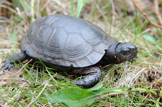 A bog turtle in its natural habitat. Health experts from the Wildlife Conservation Society's Bronx Zoo are working with state and federal wildlife managers to determine why bog turtles are dying in higher numbers than usual. Photo credit: Julie Larsen Maher/Wildlife Conservation Society.