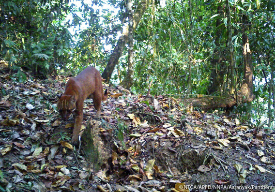 Asiatic golden cat in Namdapha. The Asiatic golden cat is listed as Near Threatened. Photo © Panthera, NTCA, APFD, NNPA, and Aaranyak.