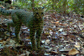 The rarely encountered marbled cat. Photo by: WWF-Indonesia.