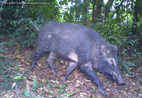 Wild boar (Sus scrofa) in Namdapha. The wild boar is listed as Least Concern. Photo © Panthera, NTCA, APFD, NNPA, and Aaranyak.