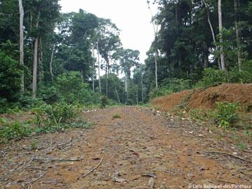 Caminos de tala abren paso a áreas que serían inasequibles de otra forma. Foto por: Laila Bahaa-el-din/Panthera.