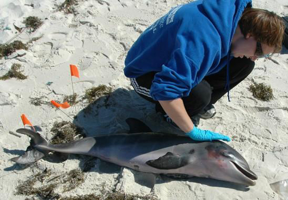 Researcher with dead dolphin calf. Photo courtesy of the University of Central Florida.