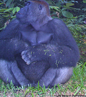 A silverback gorilla sits in front of a camera trap. Photo by: Laila Bahaa-el-din/Panthera.