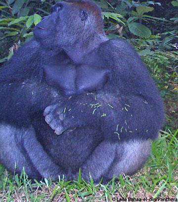 Un gorila de espalda plateada sentado frente a la cámara trampa. Foto por: Laila Bahaa-el-din/Panthera.