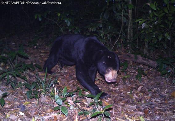 Sun bear (Ursus malayanus) in Namdapha. The sun bear is listed as Vulnerable. Photo © Panthera, NTCA, APFD, NNPA, and Aaranyak.