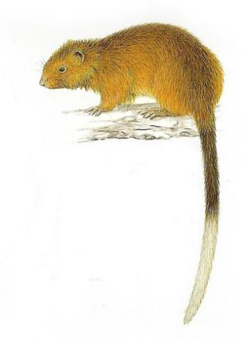 Dinagat bushy-tailed cloud rat. Illustration by William Oliver, Philippines Biodiversity Conservation Foundation.
