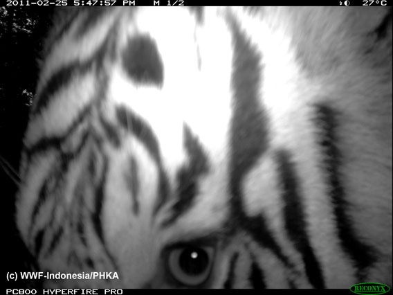 Close-up of Sumatran tiger. Photo by: WWF-Indonesia.