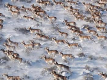 Ungulate Migration Pronghorn antelope mig...