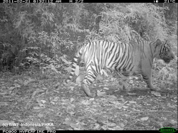 Sumatran tiger. Photo by: WWF-Indonesia.
