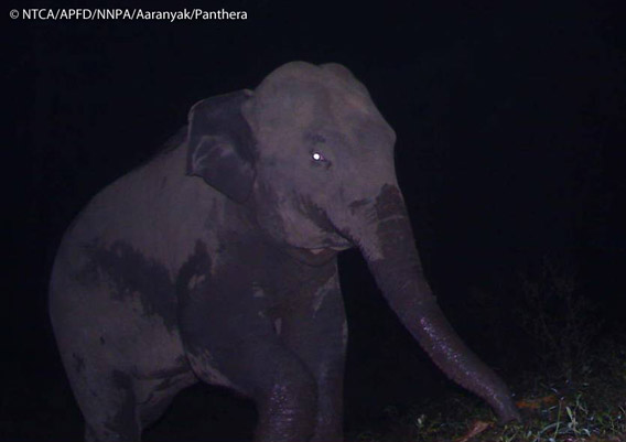 Asian elephant in Namdapha. The Asian elephant is listed as Endangered by the IUCN Red List. Photo © Panthera, NTCA, APFD, NNPA, and Aaranyak.