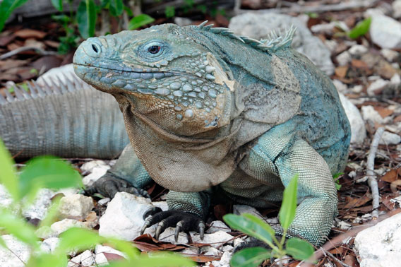 An adult blue iguana. Photo credit: Julie Larsen Maher/Wildlife Conservation Society.
