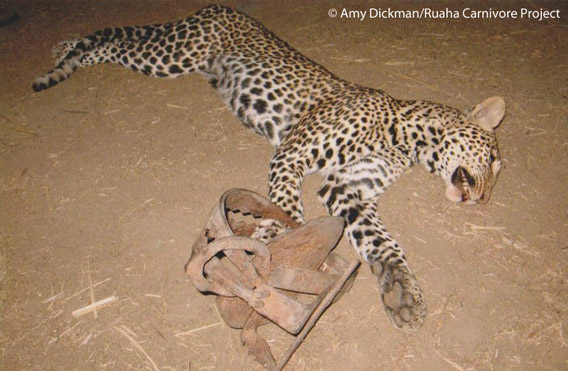 A young male leopard that was killed in a gin trap. This trap was set by a local villager who was losing livestock to local predators. Ruaha landscape, Tanzania. Photo by: Amy Dickman/Ruaha Carnivore Project.