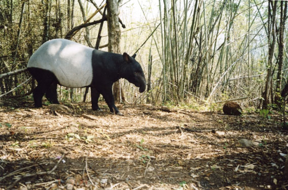 A Malayan tapir, listed as Endangered. Photo by: DNP-Government of Thailand/WCS Thailand Program.