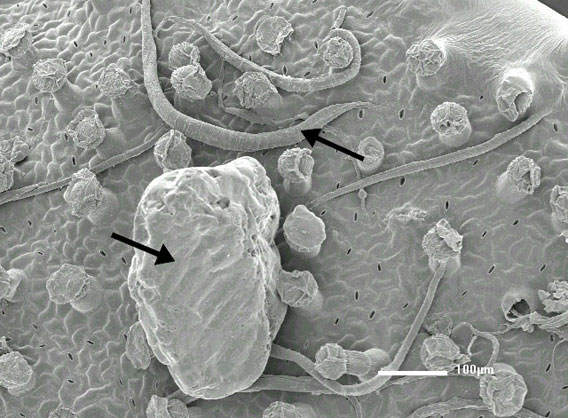 Scanning electron microscope image shows the upper leaf surface of Philcoxia minensis. Arrows point to nematodes and sand grains.