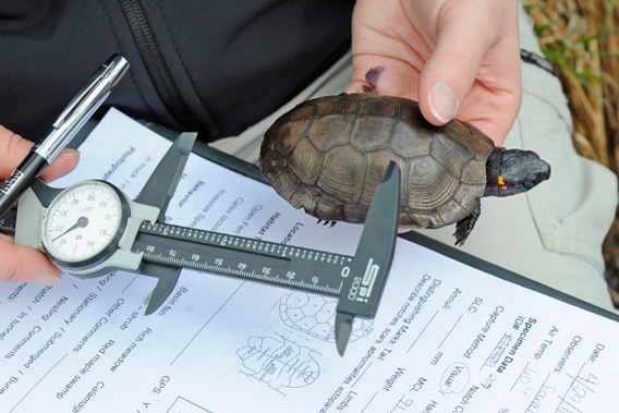 A researcher collects data on a bog turtle during a recent health assessment of the species in New York and Massachusetts.